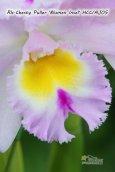 画像2: 【香りの良い大輪ライトピンクカトレア】Rlc.Chesty Puller 'Blumen Insel' (交配種) リンコレリオカトレア チェスティープラー 'ブルーメンインセル' (2)