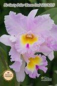 画像1: 【香りの良い大輪ライトピンクカトレア】Rlc.Chesty Puller 'Blumen Insel' (交配種) リンコレリオカトレア チェスティープラー 'ブルーメンインセル' (1)