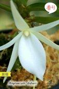 画像5: 【夕方から香るマダガスカルのミニ洋蘭】Angraecum didieri (原種)アングレカム ディディエリ (5)