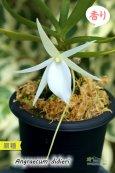 画像2: 【夕方から香るマダガスカルのミニ洋蘭】Angraecum didieri (原種)アングレカム ディディエリ (2)