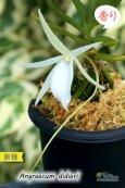 画像4: 【夕方から香るマダガスカルのミニ洋蘭】Angraecum didieri (原種)アングレカム ディディエリ (4)