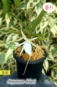 画像1: 【夕方から香るマダガスカルのミニ洋蘭】Angraecum didieri (原種)アングレカム ディディエリ (1)