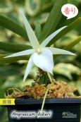 画像3: 【夕方から香るマダガスカルのミニ洋蘭】Angraecum didieri (原種)アングレカム ディディエリ (3)