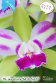 画像3: 【グリーンに赤いクサビが印象的なボール咲きカトレア】Rlc[Blc].Yen Corona 'Little Spirit' (交配種)カトレア系 イェン コロナ 'リトルスピリット' (3)