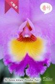 画像2: 【しっかりとした花と株の雰囲気が魅力】Rlc[Bc].Donna Kimura'Paradise Tami'(交配種)カトレア ドナ キムラ'パラダイスタミ' (2)