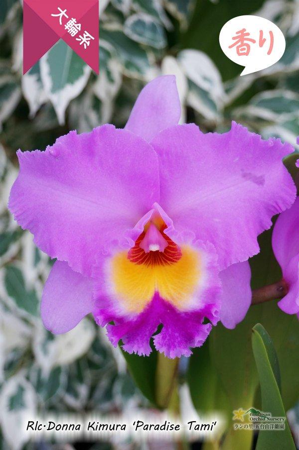 画像1: 【しっかりとした花と株の雰囲気が魅力】Rlc[Bc].Donna Kimura'Paradise Tami'(交配種)カトレア ドナ キムラ'パラダイスタミ' (1)