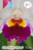 画像2: 【クリーム色のしっかり感のある花♪】Rlc.Glenn Maidment 'Aranbeem' SBM/JOGA (交配種)カトレア グレンメイドメント'アランビーム' (2)