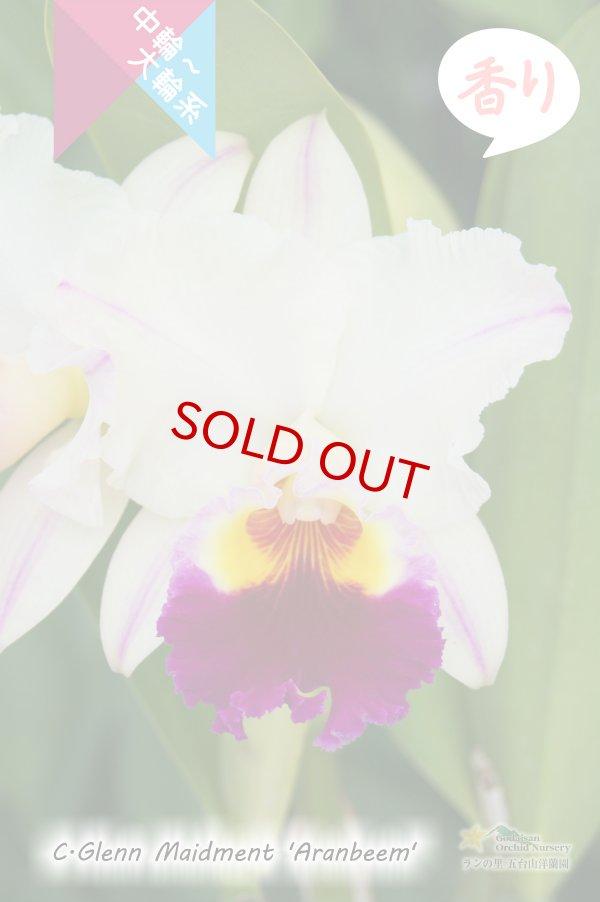 画像1: 【クリーム色のしっかり感のある花♪】Rlc.Glenn Maidment 'Aranbeem' SBM/JOGA (交配種)カトレア グレンメイドメント'アランビーム' (1)
