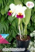 画像3: 【クリーム色のしっかり感のある花♪】Rlc.Glenn Maidment 'Aranbeem' SBM/JOGA (交配種)カトレア グレンメイドメント'アランビーム' (3)