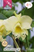 画像2: 【香りを楽しむカトレア】Rlc.Suan Puttan 'M' (交配種)カトレア スアンプタン 'エム' (2)