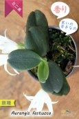 画像3: 【夜香る蘭】Aerangis fastuosa (原種)エランギス ファスツオサ (3)