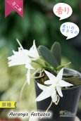 画像2: 【夜香る蘭】Aerangis fastuosa (原種)エランギス ファスツオサ (2)