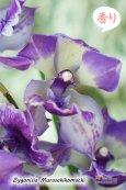 画像3: 【ひかえめな香りと青紫カラーが魅力的】Zygonisia Murasakikomachi (交配種)ジゴニシア紫小町(ムラサキコマチ) (3)