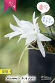 画像1: 【夜香る蘭】Aerangis fastuosa (原種)エランギス ファスツオサ (1)
