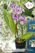 画像2: 【ひかえめな香りと青紫カラーが魅力的】Zygonisia Murasakikomachi (交配種)ジゴニシア紫小町(ムラサキコマチ) (2)