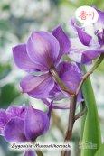 画像4: 【ひかえめな香りと青紫カラーが魅力的】Zygonisia Murasakikomachi (交配種)ジゴニシア紫小町(ムラサキコマチ) (4)
