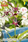 画像3: 【花に似合わず甘い香りのする紫色のプロシクリア】Prosyclia Saucy Tongue (交配種・実生株)プロシクリア ソーシータング (3)