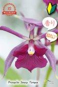 画像1: 【花に似合わず甘い香りのする紫色のプロシクリア】Prosyclia Saucy Tongue (交配種・実生株)プロシクリア ソーシータング (1)