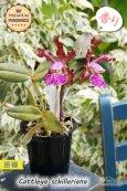 画像5: 【香りが素晴らしいカトレア原種】C.schilleriana (原種)カトレア シレリアーナ (5)