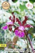 画像1: 【香りが素晴らしいカトレア原種】C.schilleriana (原種)カトレア シレリアーナ (1)