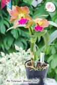 画像3: 【リップが印象的な貴重な夏咲品種】Rlc.Tatarown'Blumen Insel'CR/HOS (交配種)タタロウン'ブルーメン インセル' (3)