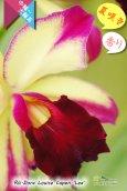 画像3: 【夏の花です】Rlc.Dora Louise Capen 'Lea' (交配種)カトレア ドラ ルイス ケイペン 'レア' (3)