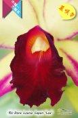 画像4: 【夏の花です】Rlc.Dora Louise Capen 'Lea' (交配種)カトレア ドラ ルイス ケイペン 'レア' (4)