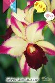 画像1: 【夏の花です】Rlc.Dora Louise Capen 'Lea' (交配種)カトレア ドラ ルイス ケイペン 'レア' (1)