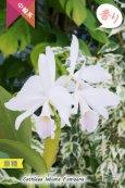 画像3: 【カトレアを代表する原種カトレア】C.labiata f.amoena (原種)カトレア ラビアタ フォーマ アモエナ (3)