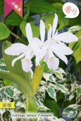 画像4: 【カトレアを代表する原種カトレア】C.labiata f.amoena (原種)カトレア ラビアタ フォーマ アモエナ (4)