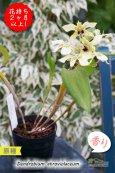 画像5: 【ニューギニアの原種デンドロ】Den.atroviolaceum (原種)デンドロビウム アトロビオラセウム (5)