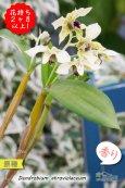 画像4: 【ニューギニアの原種デンドロ】Den.atroviolaceum (原種)デンドロビウム アトロビオラセウム (4)