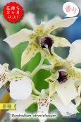 画像1: 【ニューギニアの原種デンドロ】Den.atroviolaceum (原種)デンドロビウム アトロビオラセウム (1)