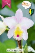 画像1: 【ファジーカラーの色彩を楽しめるミニカトレア】Ctt.Fairyland 'Ann' (交配種)ミニカトレア フェアリーランド'アン' (1)
