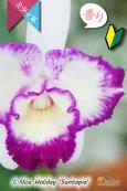 画像2: 【太陽フレアの様なミディカトレア】C.Nice Holiday 'Suntopia' (交配種)ミディカトレア ナイスホリデー'サントピア' (2)