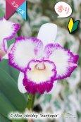 画像1: 【太陽フレアの様なミディカトレア】C.Nice Holiday 'Suntopia' (交配種)ミディカトレア ナイスホリデー'サントピア' (1)