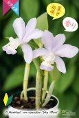 画像3: 【香りのあるソフトブルーカトレア】C.Heathii var.coerulea'Sky Mint' (交配種)ヒーシー バー セルレア'スカイミント' (3)