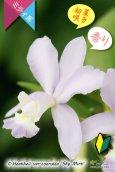 画像2: 【香りのあるソフトブルーカトレア】C.Heathii var.coerulea'Sky Mint' (交配種)ヒーシー バー セルレア'スカイミント' (2)