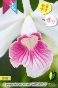 画像3: 【初夏咲きカトレア原種・実生株現品】C.purpurata var.carnea 'HR16891-5'(原種)カトレア パープラータ カーネア 'HR16891-5' (3)