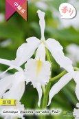 画像1: 【エクアドル産原種カトレア】C.maxima var.alba 'Pe2' (原種)カトレア マキシマ アルバ'Pe2'【自然個体分け株】 (1)