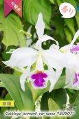 画像1: 【ベネズエラを代表する原種カトレア】C.jenmanii var.rosea '150907' (原種)カトレア ジェンマニー バー ロゼア (1)