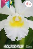 画像3: 【白色中輪〜大輪カトレア】C.Angel Bells 'Suzie'(交配種)カトレア エンジェルベルズ 'スージー' (3)