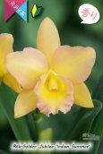 画像1: 【花持ちの良いオレンジ色のミディカトレア】Rth.Golden Jubilee 'Indian Summer'(交配種)カトレア系 ゴールデンジュビリー'インディアンサマー' (1)