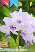 画像3: 【ブルー系中輪ボール咲きカトレア】Rth.Lois McNeil 'Vi-Blue Hawaii' (交配種) カトレア系 ロイスマクネイル 'ビ-ブルーハワイ' (3)
