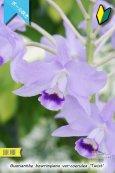 画像2: 【ブルー系・ボール咲きカトレア原種】Gur.bowringiana var.coerulea 'Twist' (原種)グアリアンセ ボーリンギアナ セルレア 'ツイスト' (2)