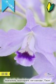 画像3: 【ブルー系・ボール咲きカトレア原種】Gur.bowringiana var.coerulea 'Twist' (原種)グアリアンセ ボーリンギアナ セルレア 'ツイスト' (3)