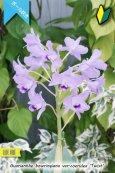 画像4: 【ブルー系・ボール咲きカトレア原種】Gur.bowringiana var.coerulea 'Twist' (原種)グアリアンセ ボーリンギアナ セルレア 'ツイスト' (4)