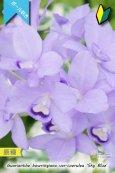 画像1: 【ブルー系・ボール咲きカトレア原種】Gur.bowringiana var.coerulea 'Sky Blue' (原種)グアリアンセ ボーリンギアナ セルレア 'スカイブルー' (1)