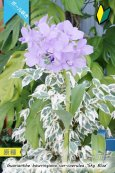 画像4: 【ブルー系・ボール咲きカトレア原種】Gur.bowringiana var.coerulea 'Sky Blue' (原種)グアリアンセ ボーリンギアナ セルレア 'スカイブルー' (4)