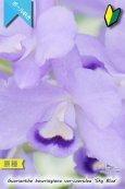 画像3: 【ブルー系・ボール咲きカトレア原種】Gur.bowringiana var.coerulea 'Sky Blue' (原種)グアリアンセ ボーリンギアナ セルレア 'スカイブルー' (3)